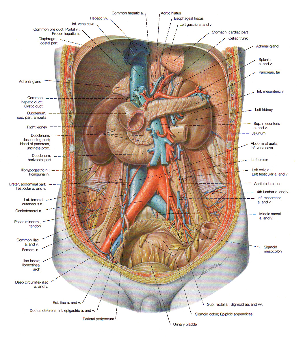 The Kidney The Urinary System
