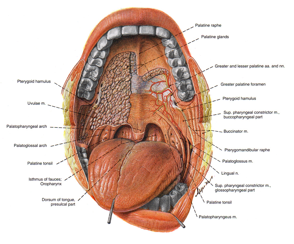 Side View Of Inside Of Mouth Diagram - All Kind Of Wiring Diagrams •