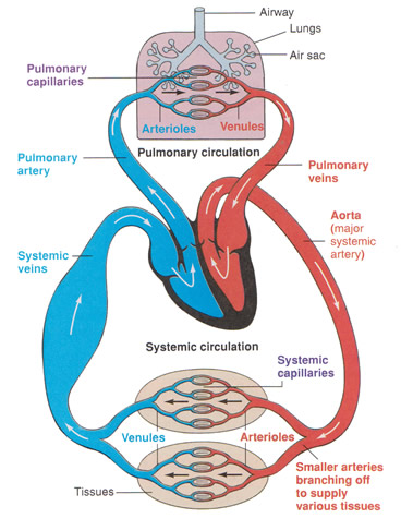 The cardiovascular system assuring delivery of blood all over diagram of the circulatory system ccuart Image collections