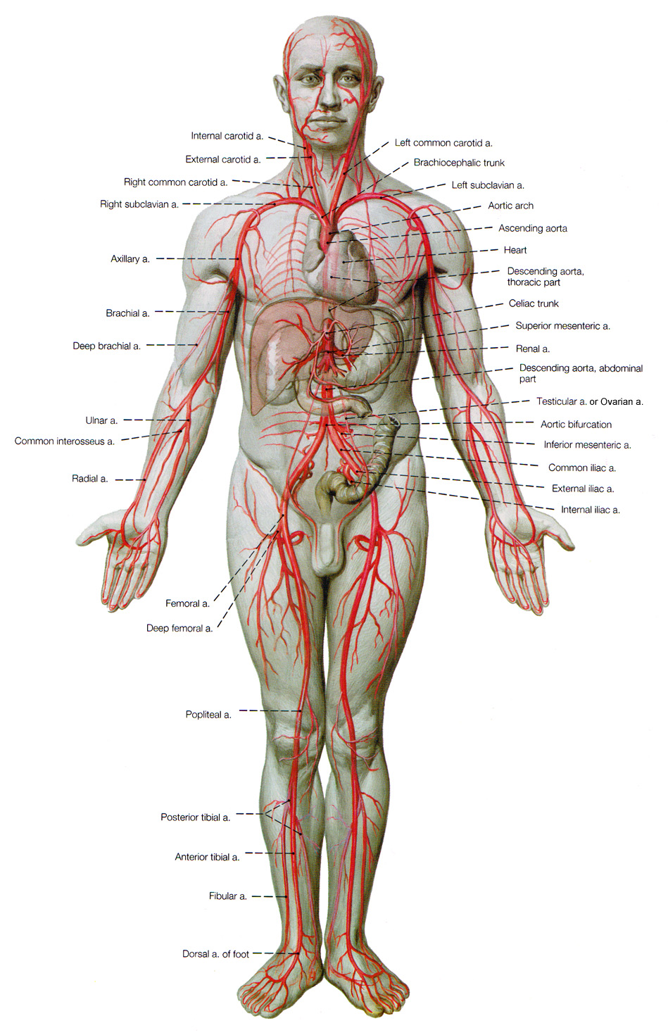 The Cardiovascular System Assuring Delivery Of Blood All Over Our