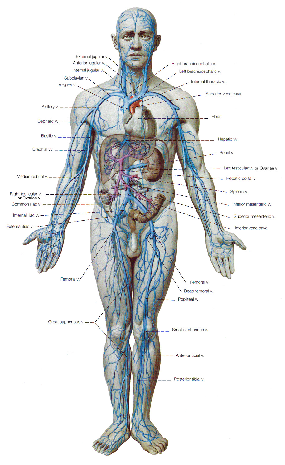 The Cardiovascular System - assuring delivery of blood all over our ...