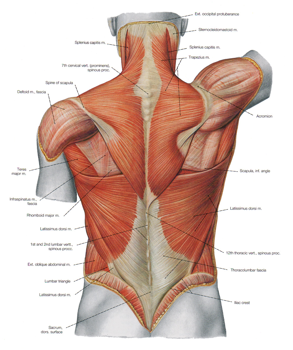 Shoulder Neck Muscles Neck Towards The Shoulders