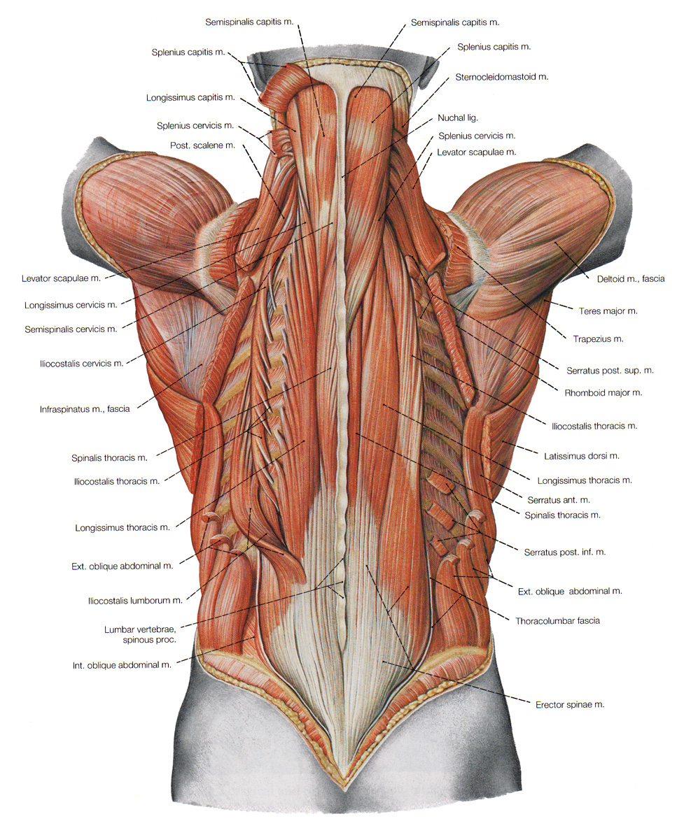 back muscles, Human Body