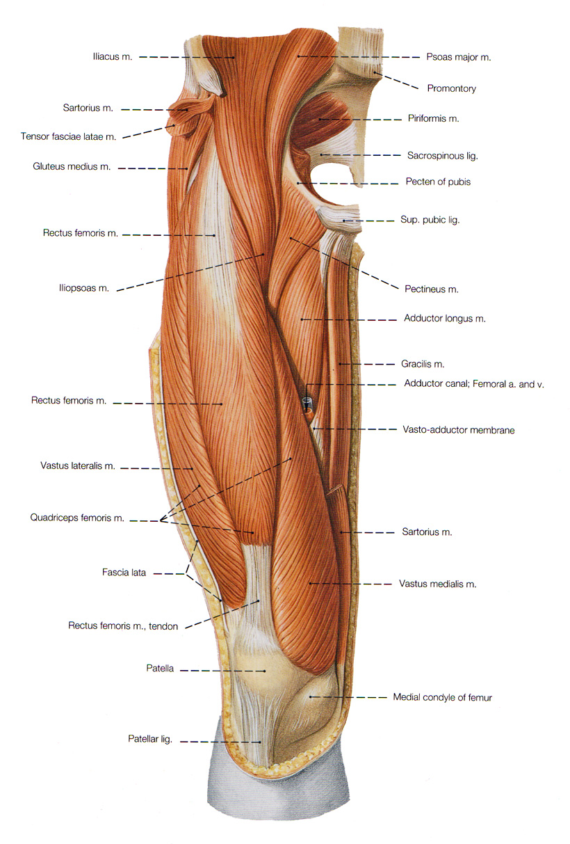 Muscles of the Leg and...