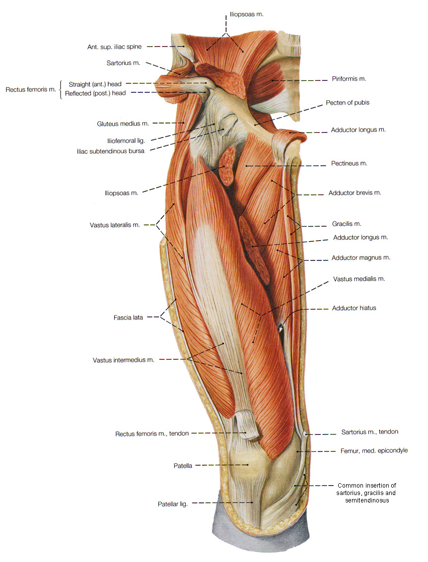 Leg And Foot Muscles