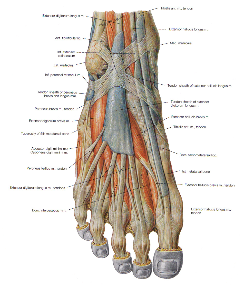 29154 as well 4815551 further 7214982 in addition 998823 additionally Chapter 1 Notes. on dorsal ventral foot