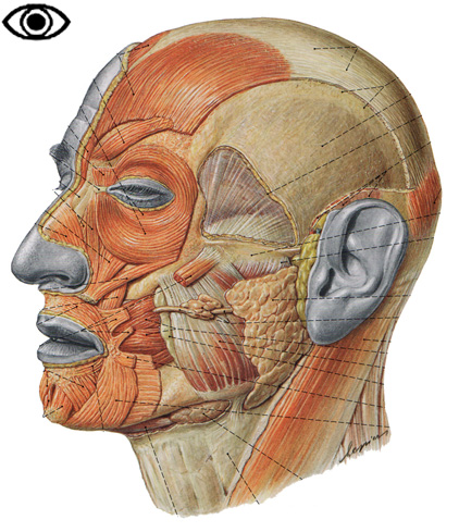 The Muscles Of The Head Allowing Face Mimics And Mastication