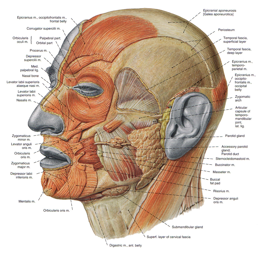 The Muscles of the Head - allowing face mimics and mastication
