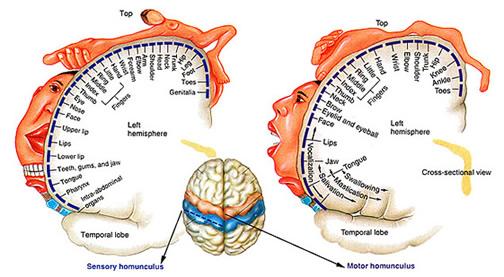 http://www.corpshumain.ca/en/images/Neuro_HomonculeSM_F_en.jpg