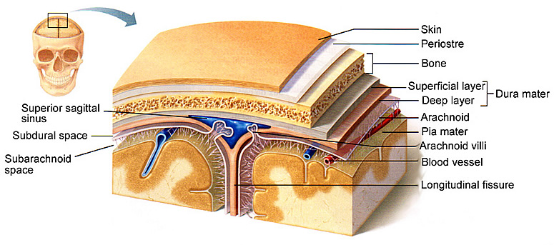 Meninges of the brain the x3cb x3ebrain x3c b x3e or the central