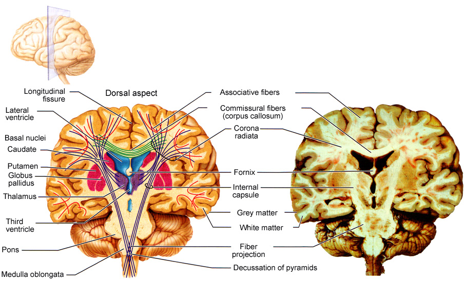 The brain - or the central nervous system