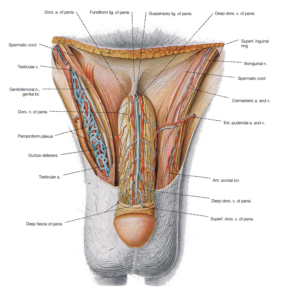 The Male Reproductive System Anatomy And Physiology