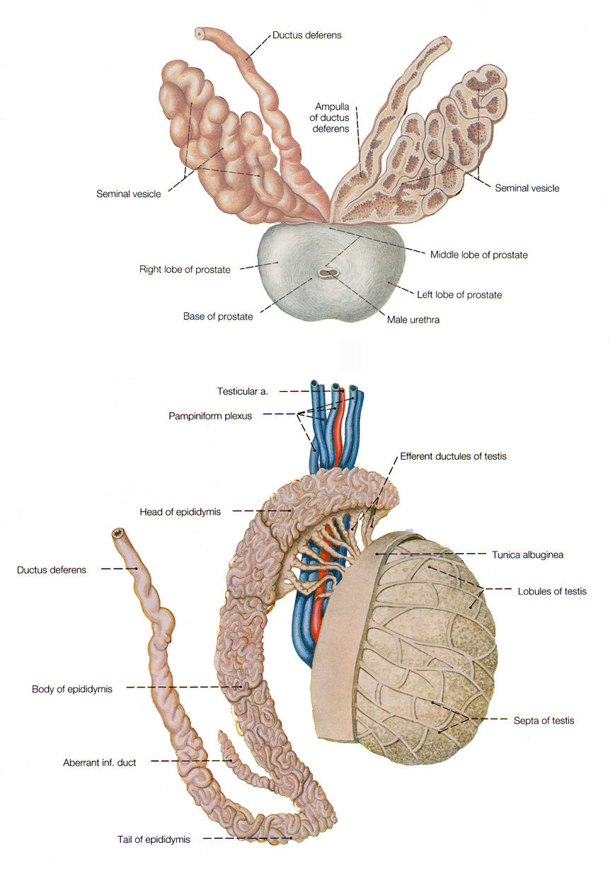 The Male Reproductive System - anatomy and physiology