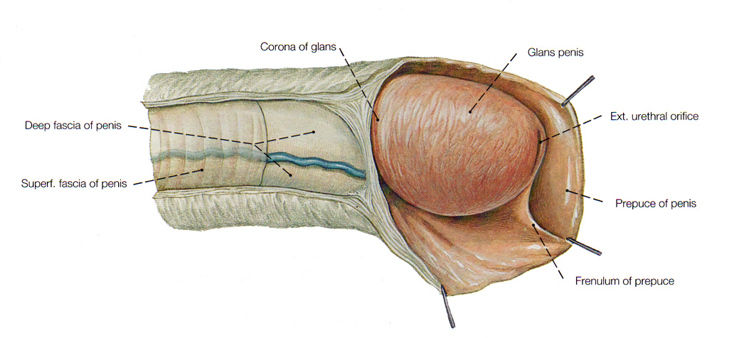Diagram of penis inside vagina