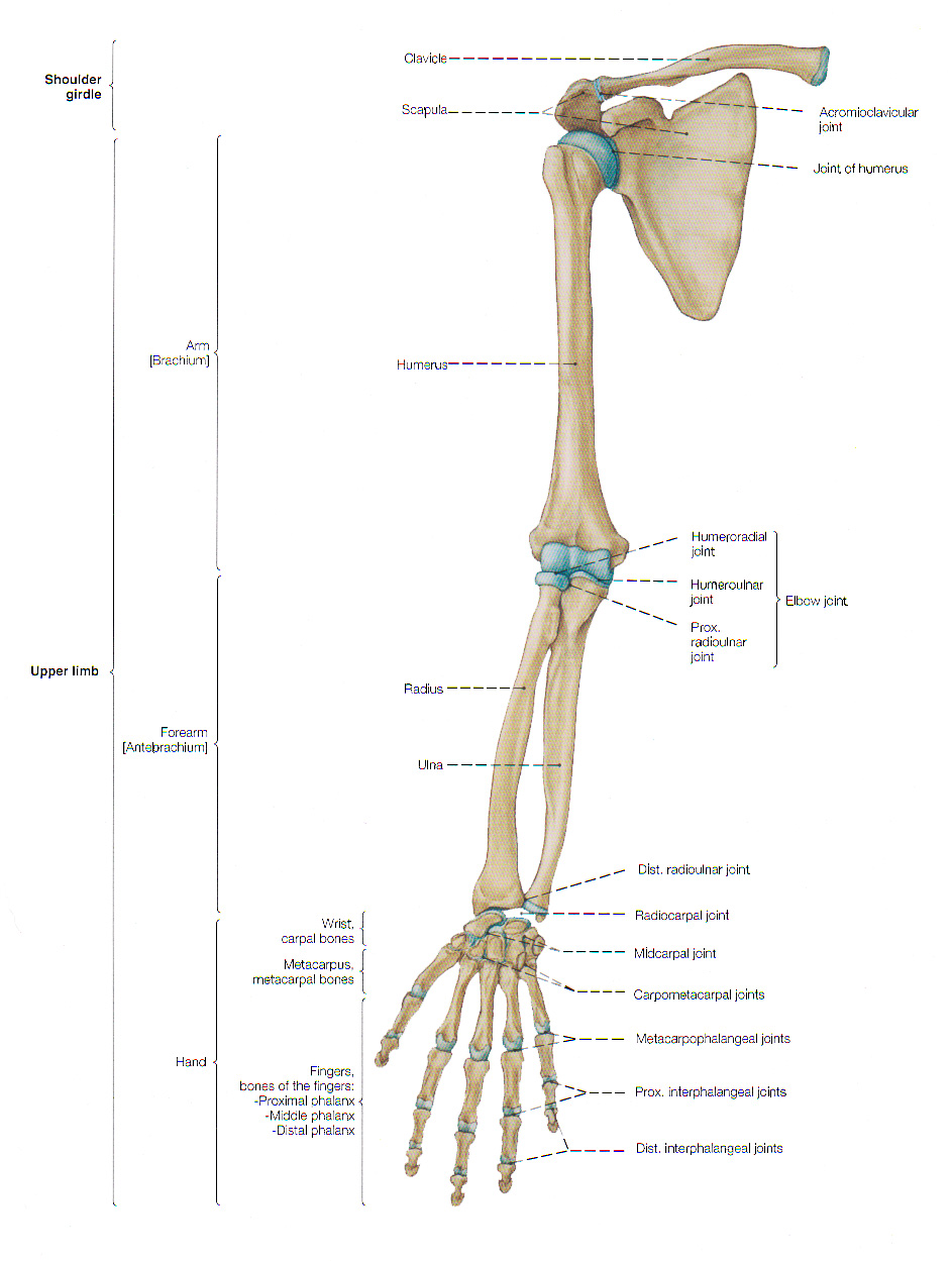 Bones Of The Arm And The Hand Arm Skeleton