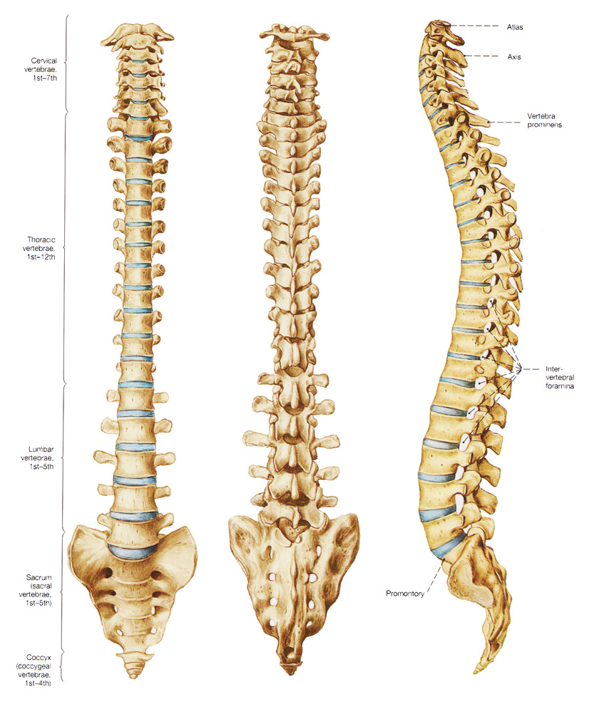 bones of the vertebral column, Human Body