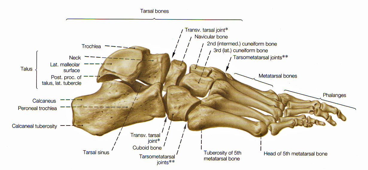 Bones of the Leg and the Foot - skeleton of the hindlimb