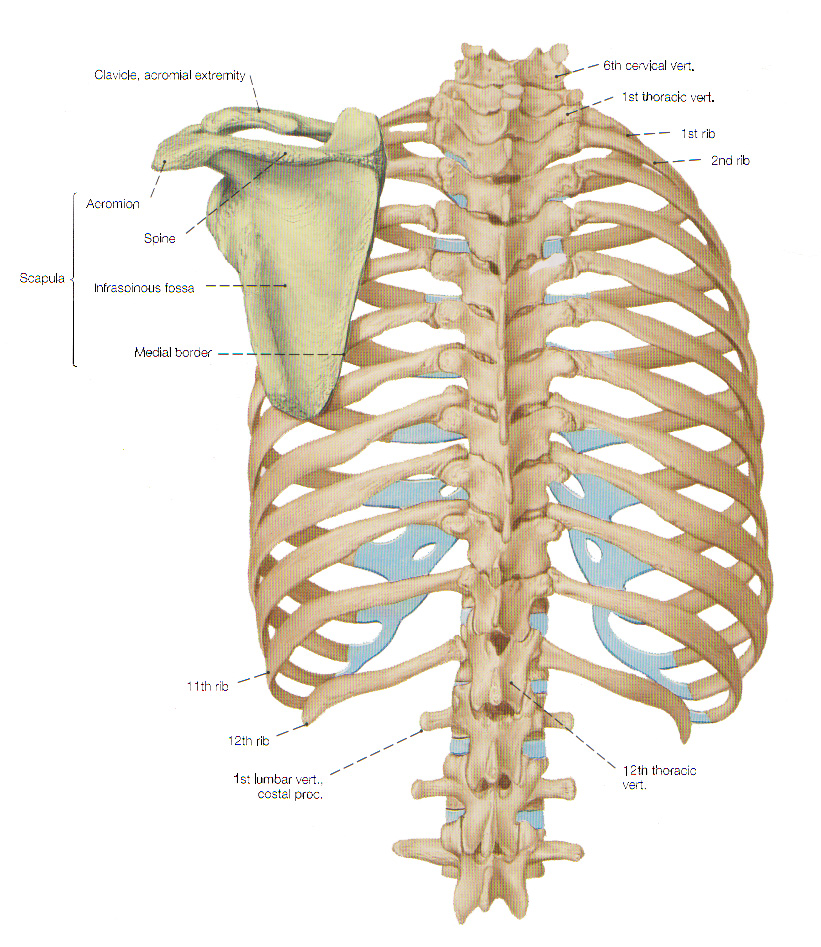 The Bones Of The Thorax The Rib Cage