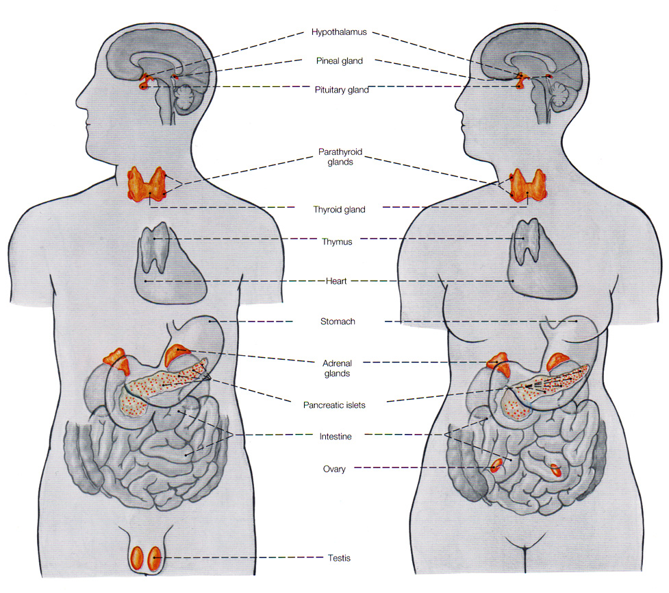 endocrine system is a major role This lesson introduces the endocrine system and provides a brief overview of each endocrine gland the functions of important hormones each gland plays a specific role in the production of a particular hormone or group of hormones needed to carry out the necessary duties required by your body to help the body.