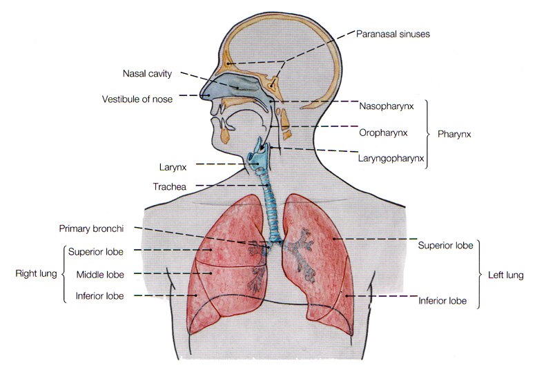 The Respiratory System Grabing Oxygen From Air And Distributing It
