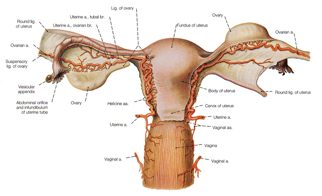 The Female Reproductive System Anatomy And Physiology