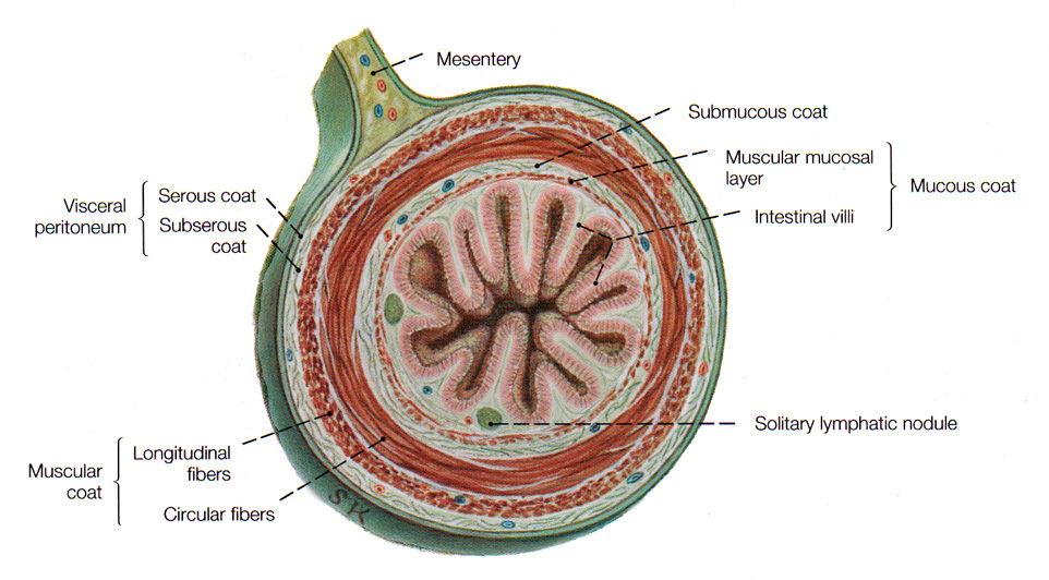 The Intestines Where Nutrients Food Are Assimilated