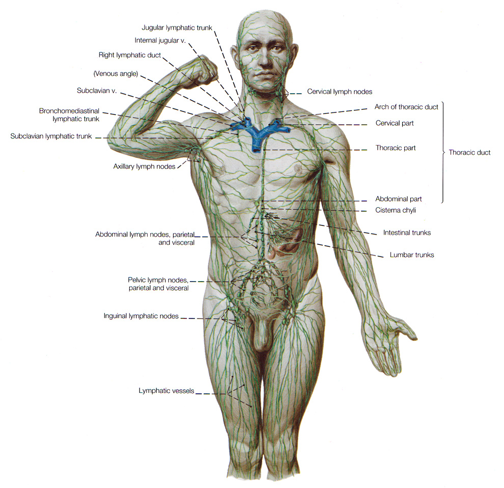 the lymphatic system - drainage for interstitial fluids., Human Body