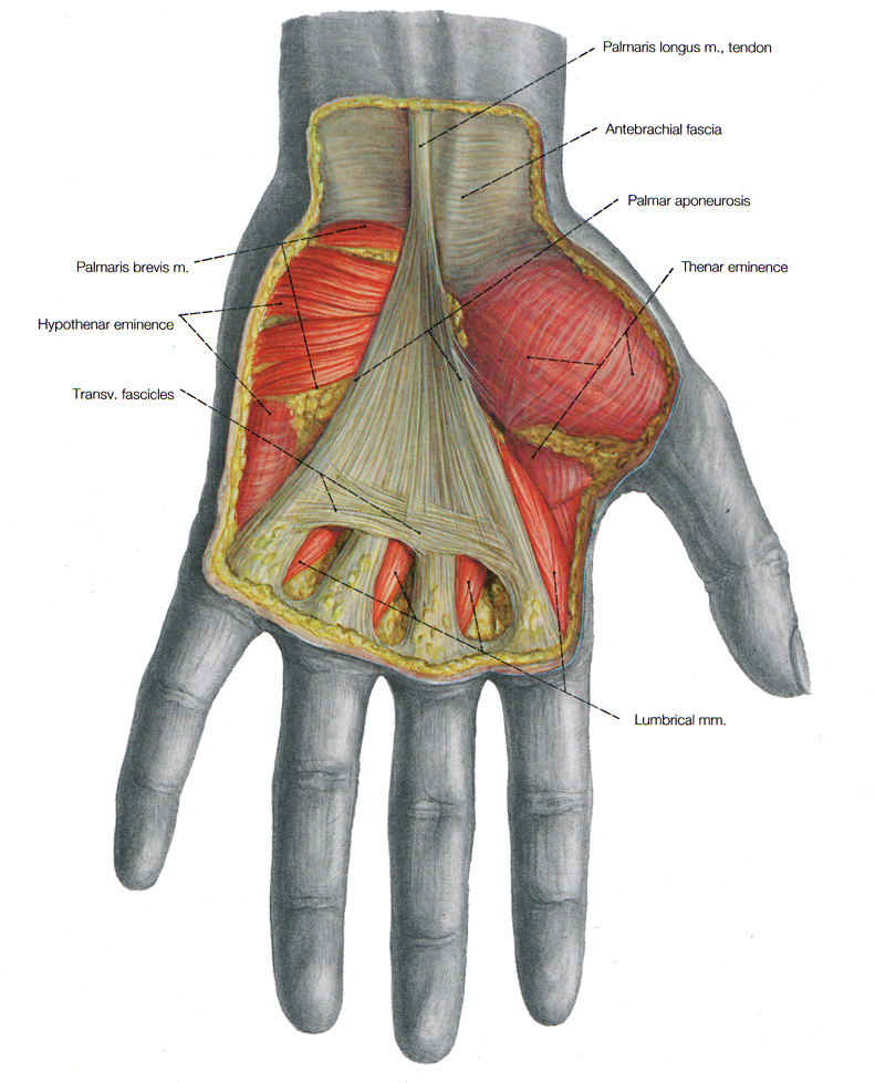Muscles Of The Arm And The Hand Anatomical Plates
