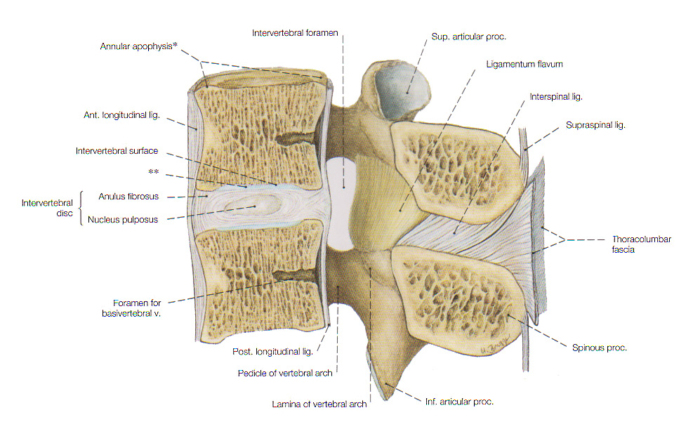 Colonne Vertebrale en besides Abdominal Cavity Location besides Chapter 22 Respiratory System 1 further 6118863 additionally Ch 17lecturepresentation 39270712. on ventral thoracic organs