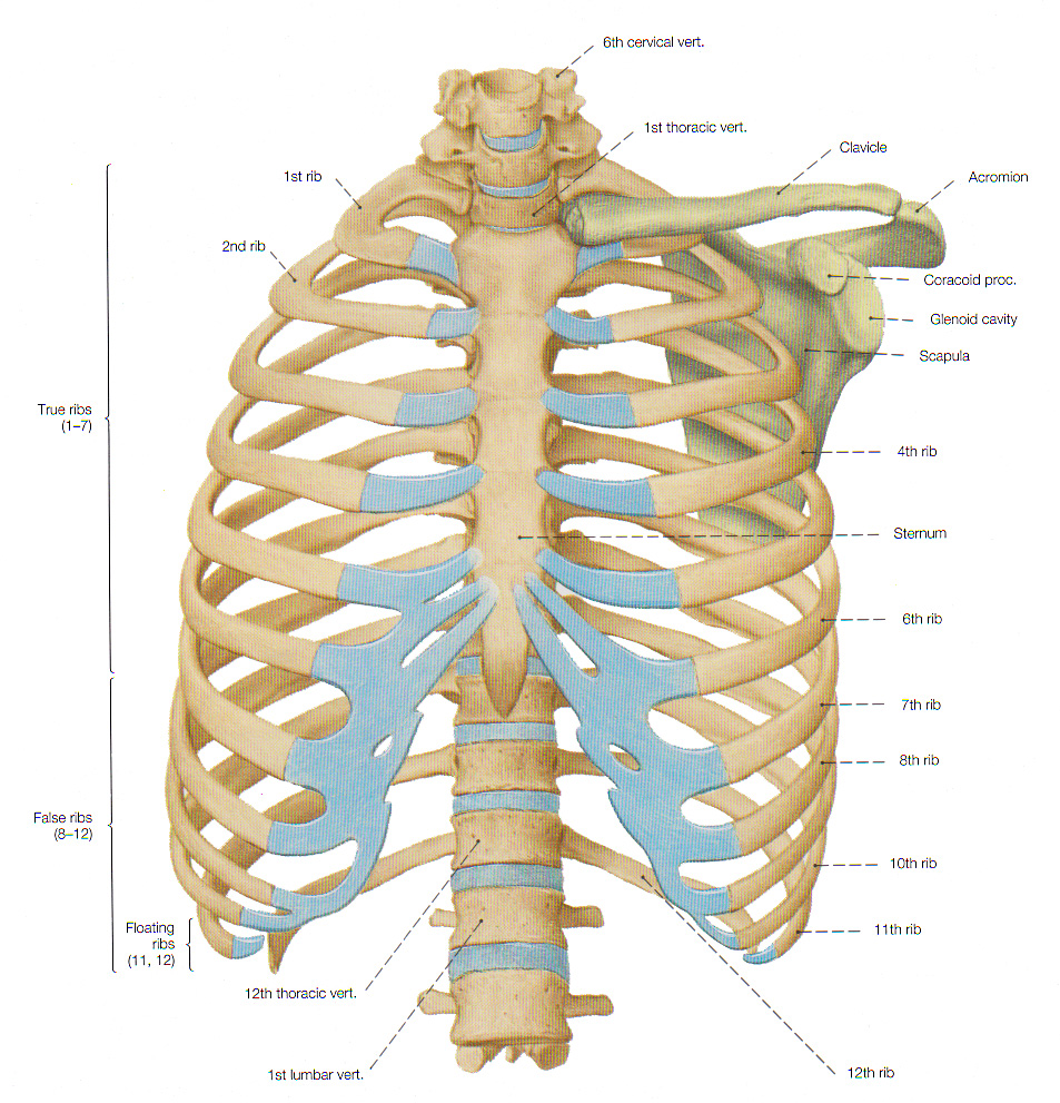 Mesh info on sternum location in human body