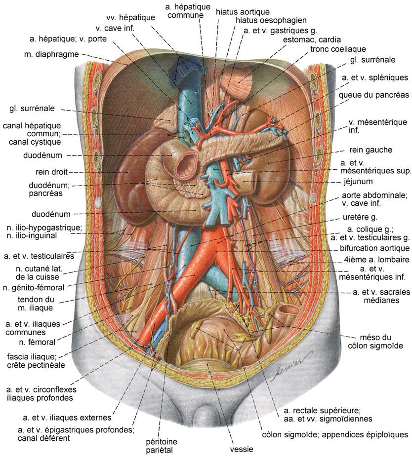 Top Le Rein, le système urinaire NL27