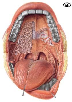 La bouche la porte du syst me digestif for Interieur de la bouche