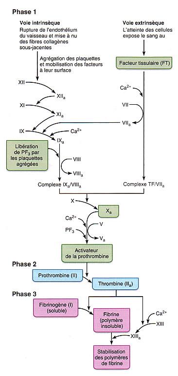 voie extrinseque coagulation
