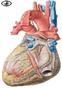 anatomie du coeur Coeur_dorsal
