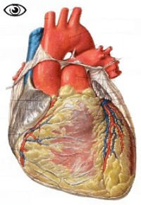 anatomie du coeur Coeur_ventral