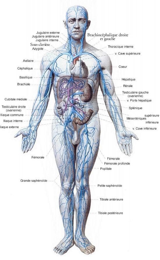 Schema des arteres et des veines