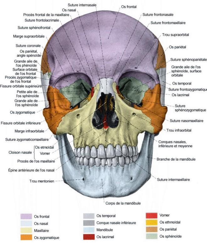 Les os du crane et de la face