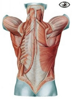 Sub-superficial view of the back muscles
