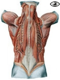 View of the deeper muscles of the back.