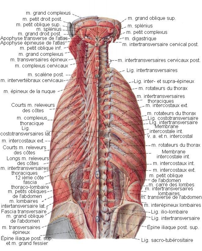 Préférence Les Muscles du Dos - planches anatomiques. YH61