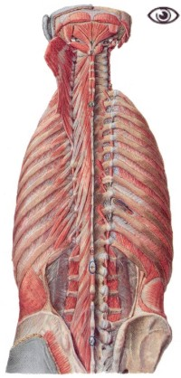 View of the deep muscles of the back.