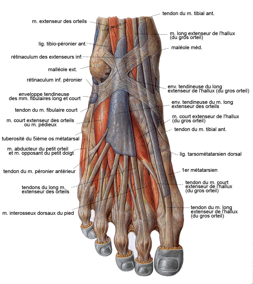 Charmant Studyblue Anatomie Und Physiologie Galerie - Menschliche ...