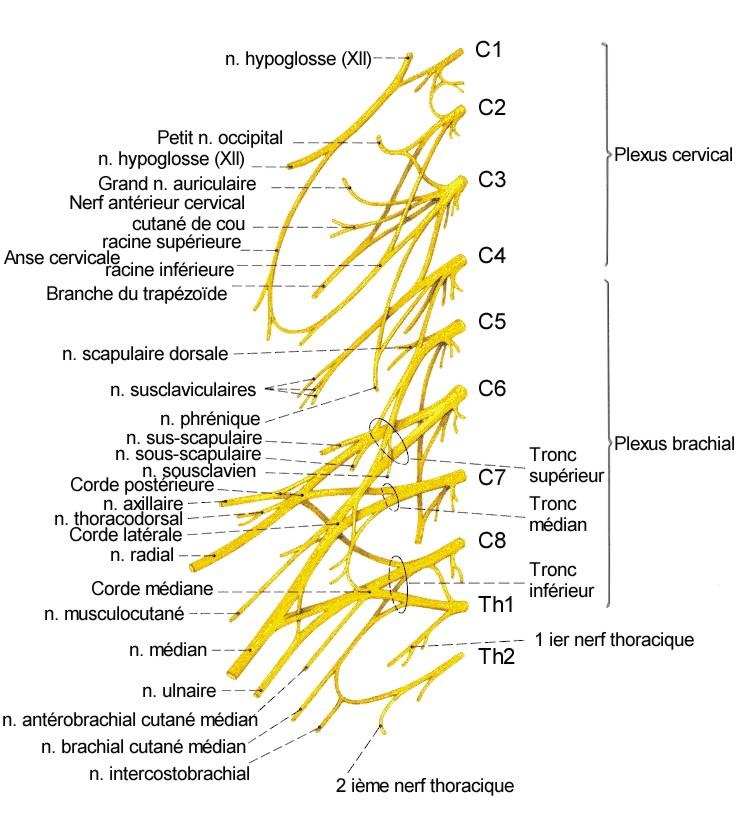 Moelle épinière - origine des nerfs périphériques