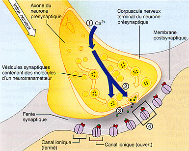 systeme nerveux cuisse