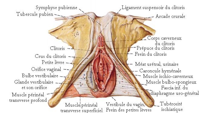 Le réseau veineux des membres inférieurs