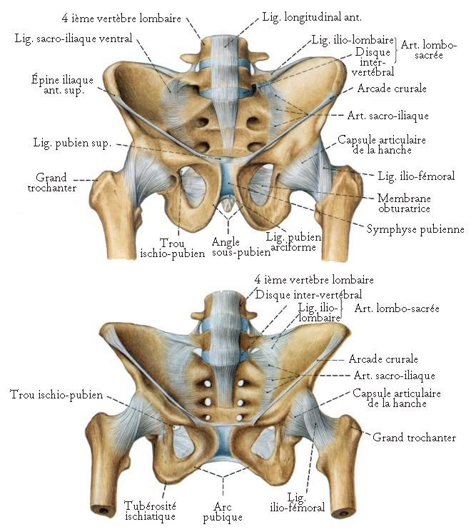 Préférence Les Os du Bassin - planches anatomiques. YH61