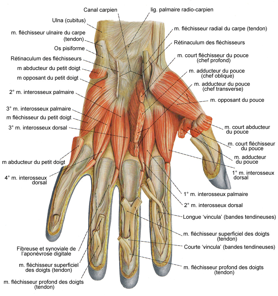les muscles du bras et de la main planches anatomiques Elbow Muscle Diagram Elbow Muscle Diagram