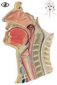 Anatomie Physiologie Du Tube Digestif Dr V Hyrailles Blanc Service Gastro Ent Rologie Chg B Ziers moreover Watch furthermore 3487661 further Digestive System besides 8927196. on pharynx digestion